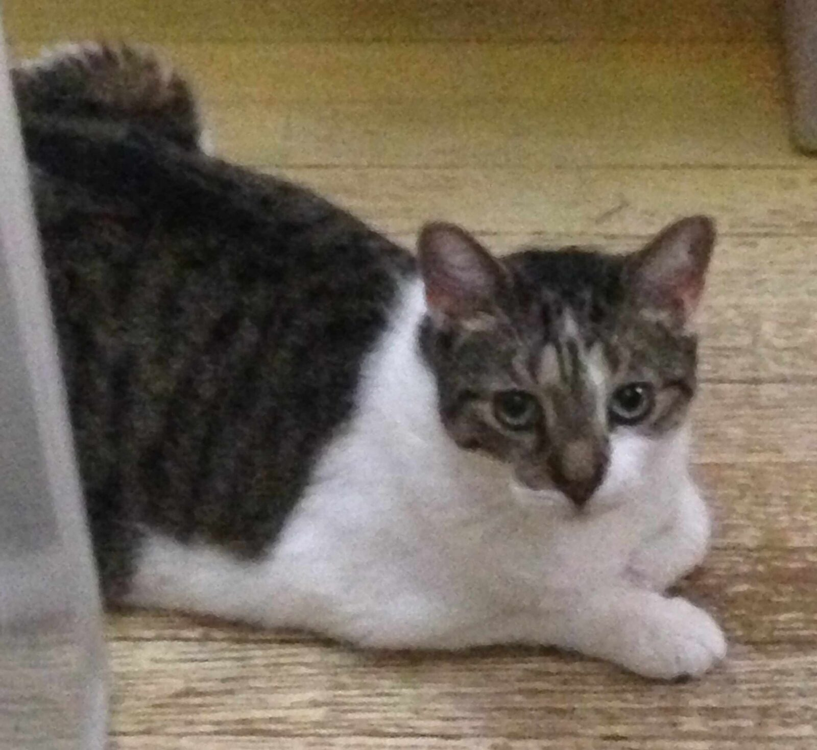 Lincoln the cat posing ready for adoption at Place for Cats